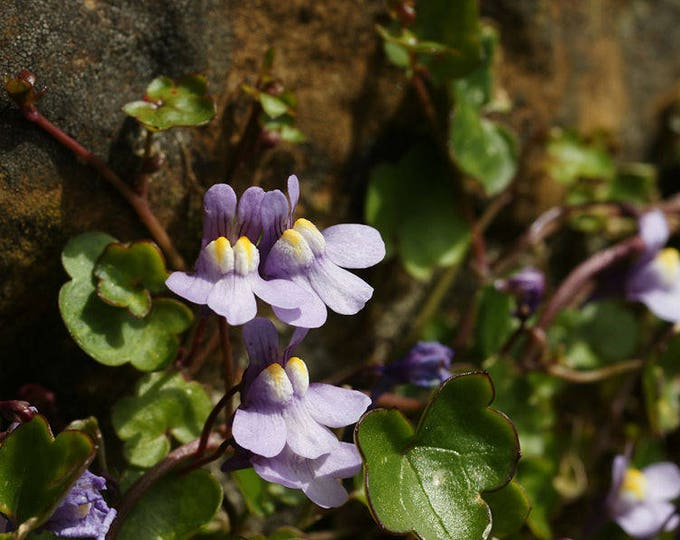 100 KENILWORTH IVY (Ivy-Leaved Toadflax) Cymbalaria Muralis Vine Flower Seeds