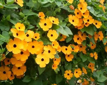 30 BLACK Eyed SUSAN VINE Thunbergia Alata Orange Yellow Black Flower Seeds *Comb S/H