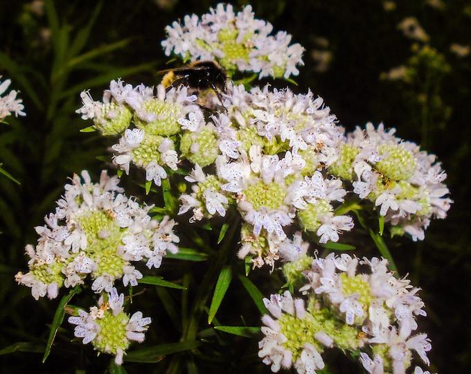 500 VIRGINIA MINT Pycnanthemum Virginianum Mountainmint Native White Flower Herb Seeds