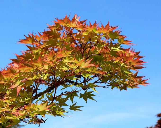 10 MON ZUKUSHI MAPLE Tree Dwarf Japanese Acer Palmatum Seeds Peach Red Purple