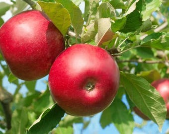 10 Red FUJI APPLE TREE Malus Domestica Fruit Tree White & Pink Flower Seeds