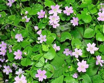 20 SIBERIAN SPRING BEAUTY Pink Purslane Claytonia Sibirica Candy Flower Seeds