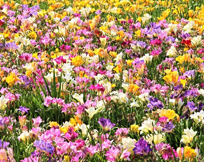 5 ROYAL CHAMPION Mix FREESIA Mixed Colors Pink Blue Purple Yellow Red Orange Flower Seeds