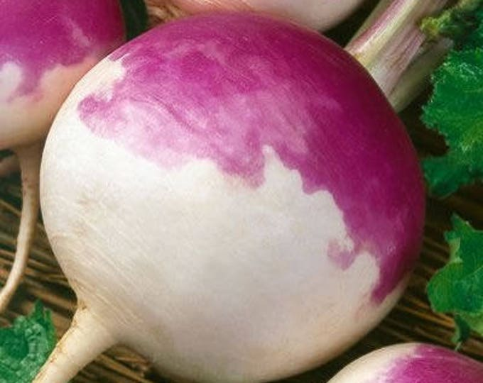 3000 PURPLE Top WHITE Globe TURNIP Brassica Rapa Vegetable Seeds