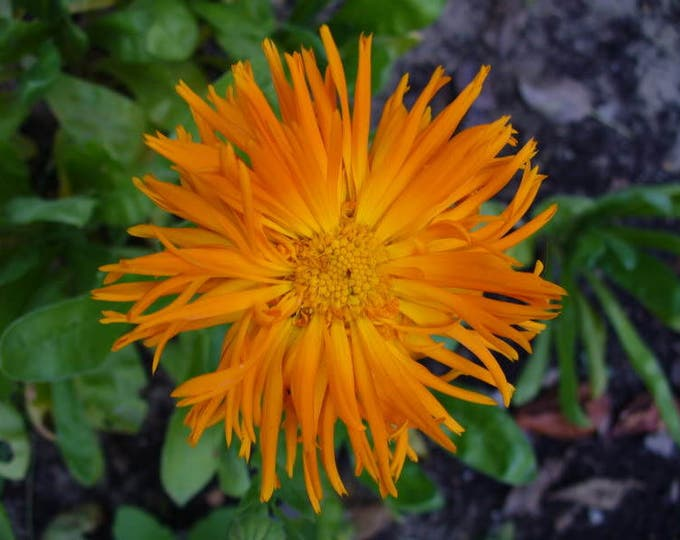 50 RADIO ENGLISH MARIGOLD Calendula Officinalis Orange & Yellow Pot Flower Seeds