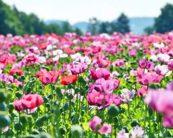 250 AFGHAN POPPY Mixed Colors Papaver Somniferum Pink Purple White Flower Seeds *Flat Shipping