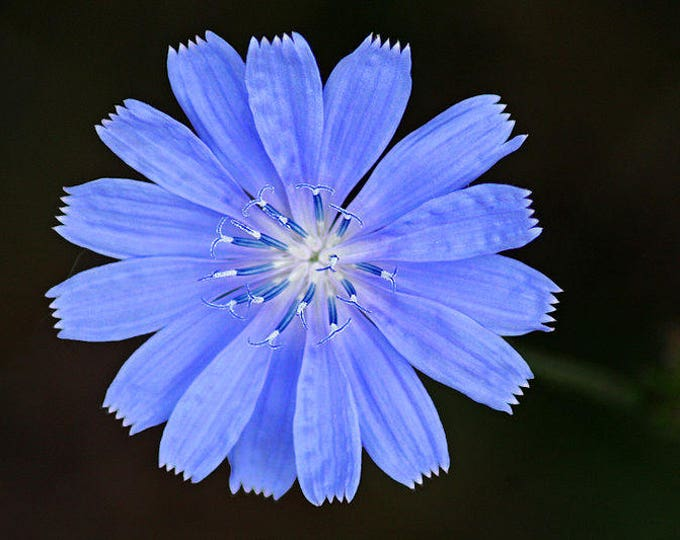 1000 CHICORY (Blue Daisy / Blue Sailors / Coffeeweed / Succory) Chicorium Cicorium Intybus Flower Herb Seeds