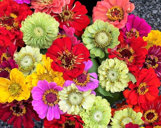 250 Mixed Colors ZINNIA ELEGANS Flower Seeds