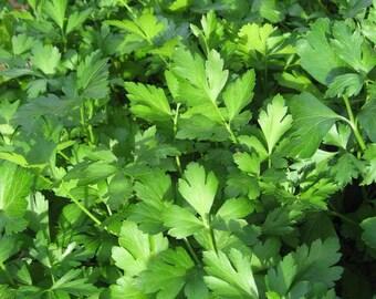 1000 GIANT ITALIAN Flat Leaf PARSLEY Petroselinum Crispum Neapolitanum Herb Vegetable Flower Seeds