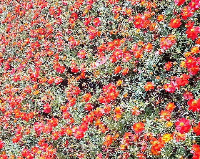 300 Wine Red TETRA VERSAILLES COSMOS Bipinnatus Hummingbird Flower Seeds