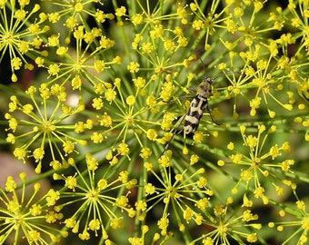 2500 BOUQUET DILL Anethum Graveolens Herb Flower Seeds