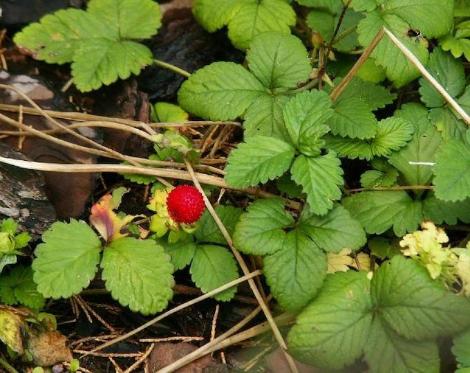 50 Edible Red MOCK STRAWBERRY Potentilla Indica Duchesnea Fruit Berry Seeds *Comb S/H