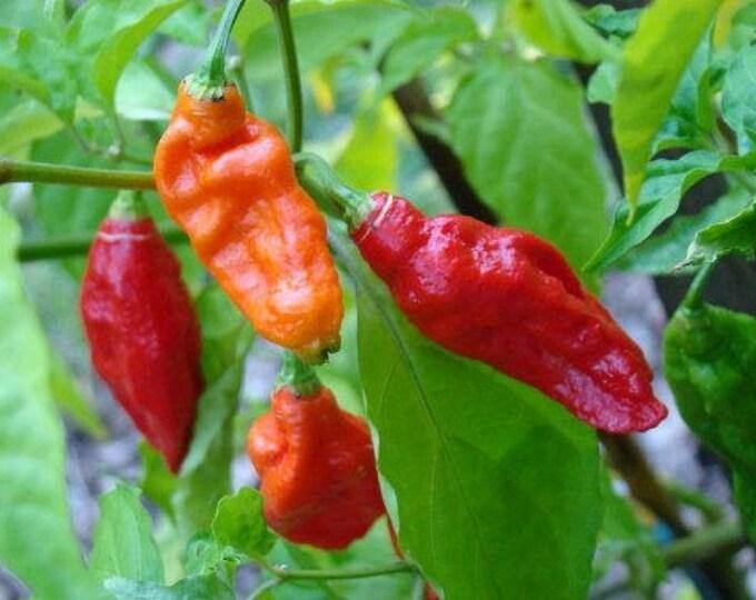 20 GHOST PEPPER SEEDS Blazing Hot Naga Bhut Jolokia Cobra Chili Vegetable Seeds *Comb S/H