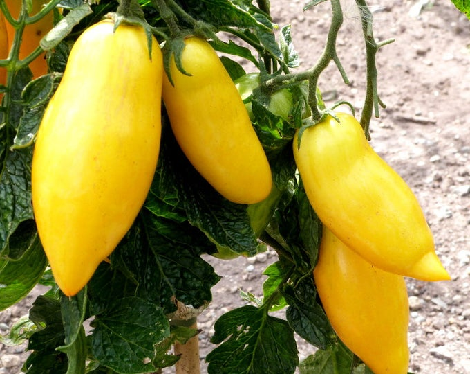 40 BANANA LEGS TOMATO Heirloom Yellow Lycopersicon Fruit Vegetable Seeds