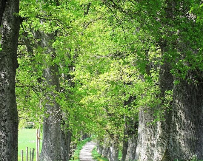 5 LAUREL OAK TREE Quercus Hemisphaerica Native aka Darlington Coastal & Sand Laurel Oak Seeds