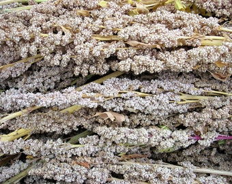 100 Organic PEPPERMINT QUINOA Grain Chenopodium Quinoa White & Green Heads - White Seeds