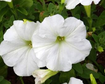 100 WHITE PETUNIA Grandiflora Flower Seeds