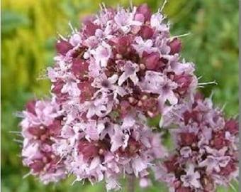 2000 SWEET MARJORAM Origanum Majorana Herb Flower Seeds