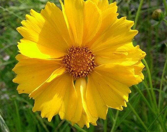 1000 YELLOW SAND COREOPSIS (Lanceleaf Tickseed) Coreopsis Lanceolata Flower Seeds