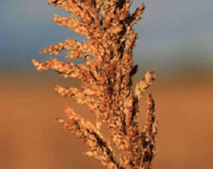 70 SUGAR DRIP SORGHUM Amber Cane Grain Sweet Syrup Vegetable Seeds