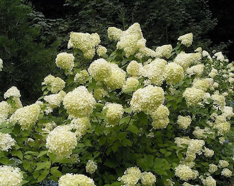 50 PEE GEE HYDRANGEA Paniculata Peegee Panicle White Pink Flower Shrub Seeds