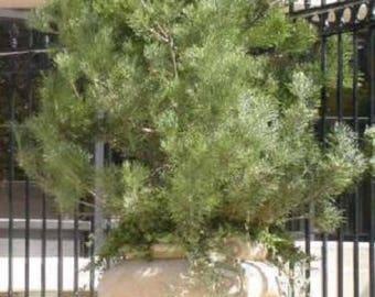 10 Japanese BLACK PINE TREE Evergreen Pinus Thunbergii Seeds *Flat Shipping