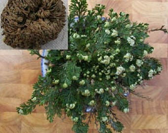 Live RESURRECTION PLANT Rose of Jericho Dinosaur Fern Miracle Air *Flat Shipping