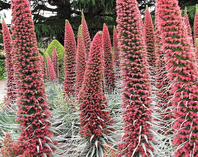 25 TOWER OF JEWELS Red Bugloss Echium Wildpretii Ruby Hummingbird Flower Seeds *Flat Shipping