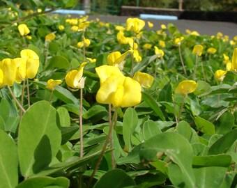 5 PERENNIAL PEANUT Pinto Ground Cover Yellow Flower Arachis Pintoi Evergreen Legume Seeds