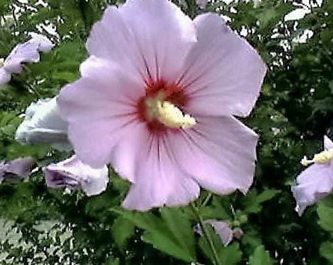 50 Light Pink ROSE Of SHARON HIBISCUS Syriacus Flower Tree Bush Seeds *Flat Shipping