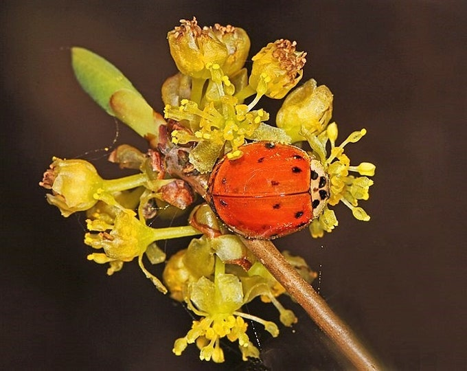 10 SPICEBUSH Wild Allspice Lindera Benzoin Northern Spice Bush Red Berry Yellow Flower Seeds