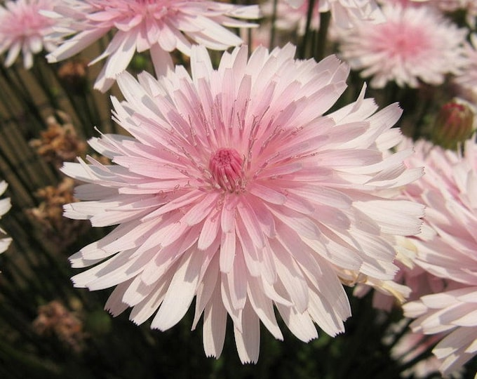 25 PINK HAWKSBEARD Crepis Rubra Flower Seeds Everlasting Daisy Two Tone Double