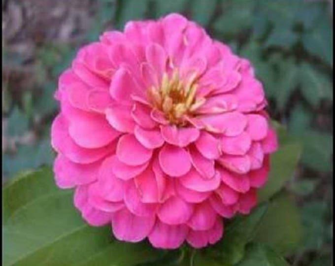 250 LUMINOSA PINK ZINNIA Elegans Flower Seeds
