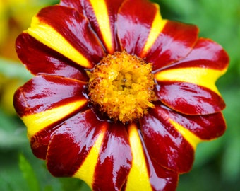 200 COURT JESTER MARIGOLD French Tagetes Patula Nana Red Yellow Striped Flower Seeds