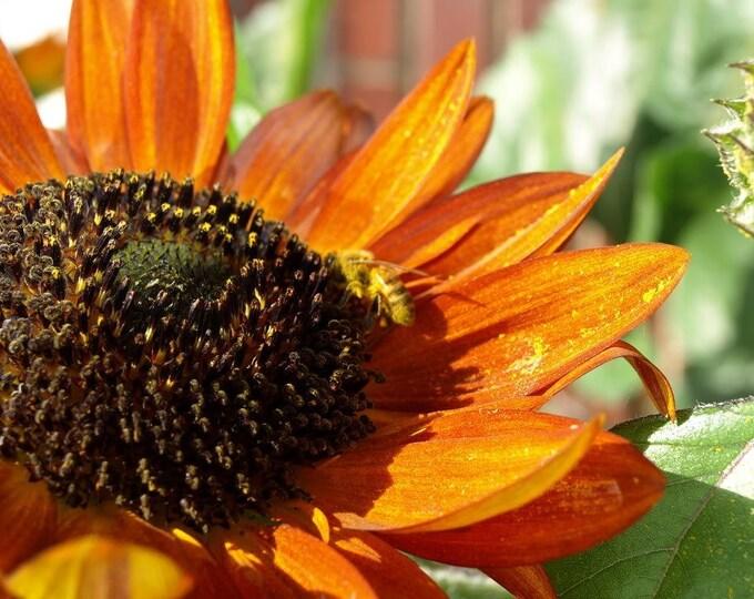 100 Orange EVENING COLORS SUNFLOWER Helianthus Annuus Flower Seeds
