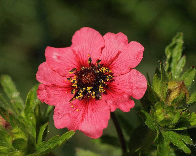 50 NEPAL CINQUEFOIL / POTENTILLA Nepalensis Pink Red Flower Seeds *Flat Shipping