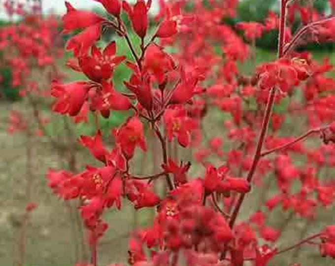 100 HEUCHERA FIREFLY Red Coral Bells Flower Seeds *Comb S/H