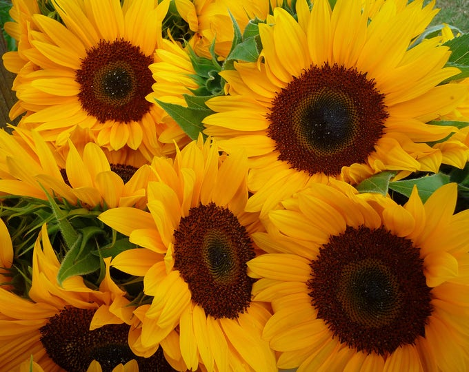 50 HOPI COMMON SUNFLOWER Helianthus Annuus Flower Seeds *Flat Shipping