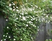 5 WHITE CLIMBING ROSE Rosa Bush Vine Climber Fragrant Butterfly Flower Seeds