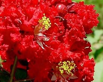 35 RED CREPE MYRTLE Lagerstroemia Flowering Shrub Bush Small Tree Seeds