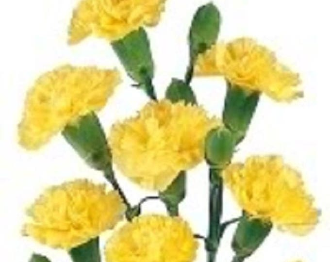50 YELLOW CARNATION Dianthus Caryophyllus Grenadin Double Flower Seeds *Comb S/H