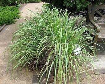 100 LEMONGRASS East Indian Lemon Grass Fragrant Ornamental Edible Cymbopogon Flexuosus Seeds