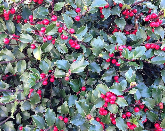 40 AMERICAN HOLLY Ilex Opaca Tree Shrub Evergreen Red Berry Seeds - aka White Holly, Prickly Holly, Christmas Holly, Yule Holly