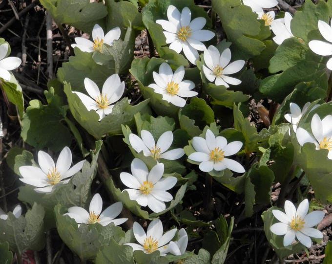 10 White BLOODROOT Sanguinaria Canadensis Shade Ground Cover Flower Seeds