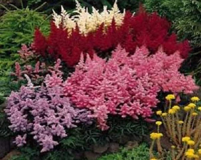 50 MIXED Colors ASTILBE BUNTER Astilbe Simplicifolia Shade Red White Purple Pink Flower Seeds