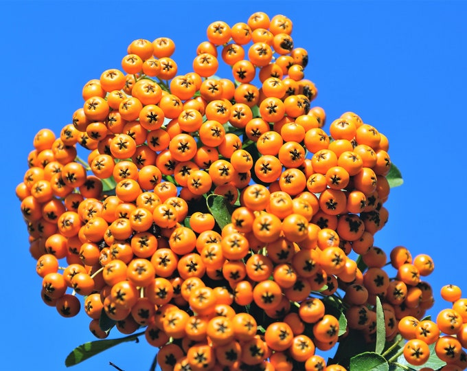 100 SEABERRY Sea Buckthorn Elaeagnus Hippophae Rhamnoides Orange Berry Fruit Shrub Yellow Flower Silver Foliage Seeds