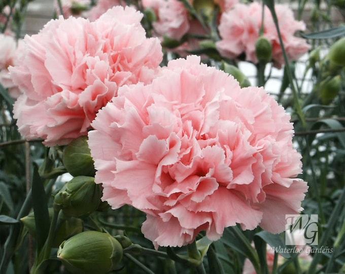 50 La France PINK CARNATION Dianthus Caryophyllus Chabaud Flower Seeds *Comb S/H