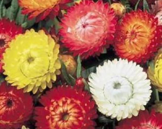 100 TALL Double MIXED Colors STRAWFLOWER Helichrysum Monstrosum Flower Seeds