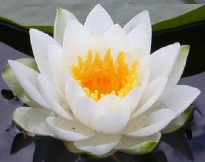 10 WHITE Lotus (Sacred WATER LILY / Lily Pad / Asian Water Lotus) Nymphaea Ampla Flower Seeds