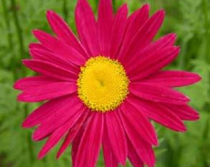 100 RED ROBINSONS DAISY Painted Chrysanthemum Coccineum Pyrethrum Flower Seeds *Flat Shipping